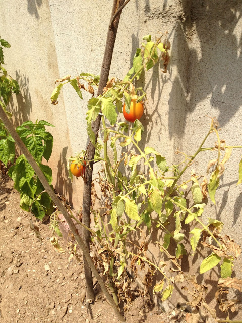 Two tomatoes on a vine.